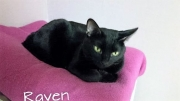 Humane Society's Pet of the Week: Meet Raven