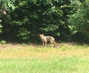 This coyote was spotted near downtown Tuscaloosa on Monday, May 16.